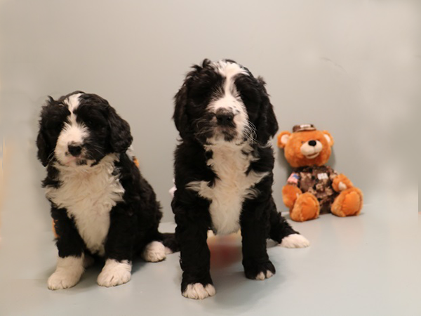 Bernedoodles Bernedoodle Puppies Ny Ma Ct Vt Nj Pa Me